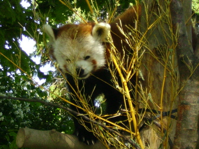 Dublin Zoo - Red Panda